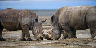 Носорог 2 воюя друг с другом Кения Национальный парк вышесказанного стоковые изображения rf