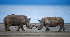 Носорог 2 воюя друг с другом Кения Национальный парк вышесказанного стоковые изображения