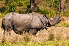 Носорог вызывать Стоковые Фотографии RF