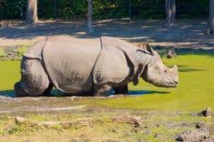 Носорог в грязи Стоковые Изображения RF