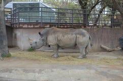 Носорог в зоопарке Барселоны Стоковые Изображения