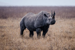 Носорог в кратере Ngorongoro Стоковые Фотографии RF