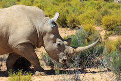Носорог в национальном парке Kruger Стоковая Фотография RF