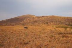 Носорог в природе, национальном парке Pilanesberg, Южной Африке стоковые изображения rf