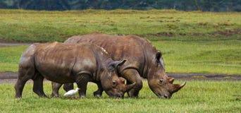 Носорог 2 в саванне Национальный парк вышесказанного стоковая фотография rf