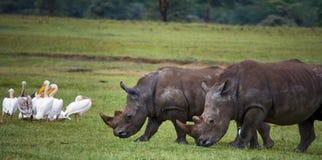 Носорог 2 в саванне Национальный парк вышесказанного стоковые изображения