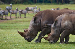 Носорог 2 в саванне Национальный парк вышесказанного стоковое изображение