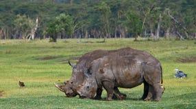 Носорог 2 в саванне Национальный парк вышесказанного стоковое фото rf