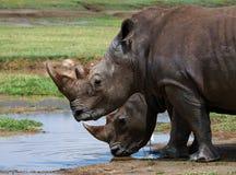 Носорог 2 в саванне Национальный парк вышесказанного стоковая фотография