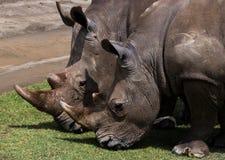 Носорог 2 в саванне Национальный парк вышесказанного стоковые фотографии rf