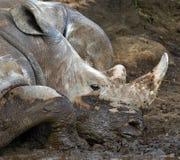 Носорог лежа в грязи Национальный парк вышесказанного стоковое фото rf