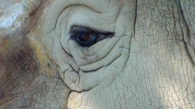 Носорог закрывает вверх видеоматериал