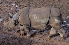 Носорог идя в грязь стоковая фотография rf