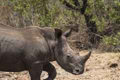 Носорог, носорог, идя для того чтобы выпрямить, с рожком носорога ясно видимым стоковое фото rf