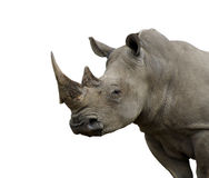 носорог изолированный быком стоковые фото