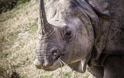 Носорог индейца одного horned на королевском Chitwan Стоковые Изображения
