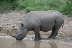 носорог испытывающий жажду стоковое фото rf