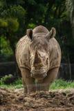 Носорог и природа Стоковое Изображение