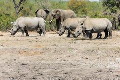 Носорог и слон стоковое изображение