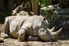 Носорог кладя вниз Стоковые Фото