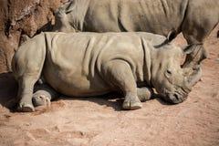 Носорог лежит вниз в пыли стоковые фотографии rf