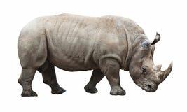 Носорог на белой предпосылке Стоковое фото RF