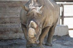 Носорог на зоопарке Стоковое Изображение