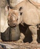Носорог на зоопарке Brookfield Стоковые Изображения
