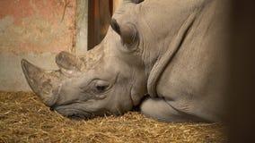 Носорог на соломе сток-видео