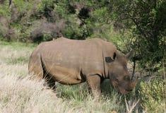 Носорог пася в Южной Африке стоковые фотографии rf