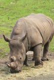 Носорог пася Стоковые Изображения
