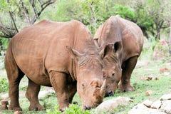 носорог портрета Стоковое фото RF