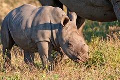 носорог природы коровы икры Стоковые Изображения RF