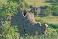 Носорог при извлекли рожок, который Стоковые Изображения RF