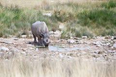 Носорог с 2 бивнями в национальном парке Etosha, конце Намибии вверх, сафари в Южная Африка в засушливом сезоне стоковое фото
