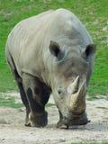 Носорог, трава Стоковое Изображение RF