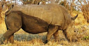 носорог стоковые фото