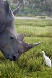 носорог Стоковое Изображение