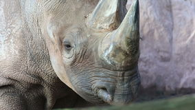 Носорог видеоматериал