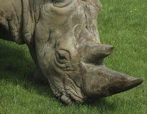 носорог Стоковое Изображение RF