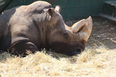 носорог Стоковое фото RF
