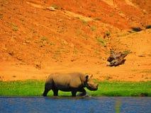 носорог Стоковая Фотография