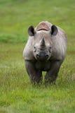 носорог diceros bicornis черный Стоковая Фотография RF