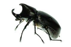 носорог hercules жука Стоковая Фотография