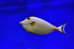 Носорог Orangeville рыб Стоковое Изображение