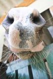 Нос близкий вверх аравийской лошади залива Стоковые Фотографии RF