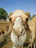 Нос верблюда Стоковое Изображение