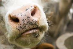 нос влажный Стоковое Фото