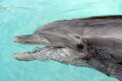 нос дельфина бутылки близкий вверх Стоковое Изображение RF