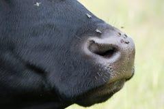 Нос коровы с мухами на ем, в профиле стоковая фотография
